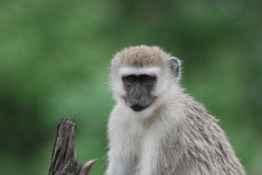Vervet Monkey Stock Photo