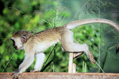 Free Vervet Monkey Royalty Free Stock Photos - 12482058