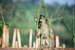 Free Vervet Monkey Stock Photos - 12515013