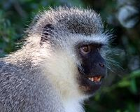 Vervet Monkey. In Addo Elephant National Park, South Africa stock photo