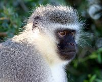 Vervet Monkey. In Addo Elephant National Park, South Africa stock photos