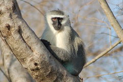 Free Vervet Monkey Royalty Free Stock Photo - 12811315