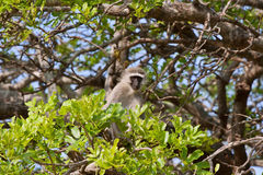 Vervet monkey Royalty Free Stock Photos