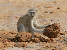 Vervet monkey. Vervet, or green monkey, searches for insects in elephant dung Royalty Free Stock Image