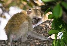 Vervet Monkey. Is widely distributed and very adaptable so is often seen as a pest by African farmers Royalty Free Stock Image