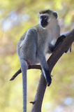 Vervet monkey. Perched on a tree Royalty Free Stock Images