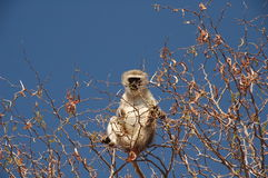 Vervet monkey. South Africa - Kruger National Park - Vervet monkey on the top of tree royalty free stock photo