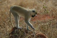Vervet Monkey royalty free stock photos