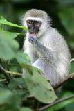 Vervet Monkey Royalty Free Stock Photography