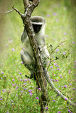 Vervet Monkey. A shot of a wild Vervet monkey stock photo