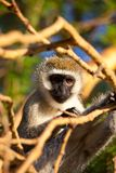 Vervet Royalty Free Stock Photos