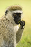 Vervet monkey. Eating leaf in Masai Mara,Kenya Stock Image