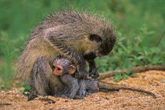 Vervet monkey. (Cercopithecus aethiops) with newborn baby, Kruger National Park, South Africa royalty free stock photos