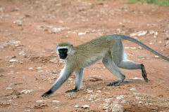Vervet Monkey - Africa Stock Photos