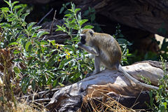 Vervet Monkey Royalty Free Stock Image