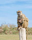 Vervet Monkey and Baby. A Vervet mother monkey and her baby sitting on top of a gate post in the Amboseli National Park, Kenya, Africa Royalty Free Stock Photography