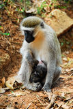 Vervet monkey with a baby Royalty Free Stock Images