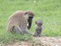 Vervet Monkey and Baby Stock Image