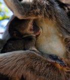 Vervet monkey baby Stock Photo