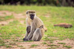 Vervet monkey with a baby Royalty Free Stock Image