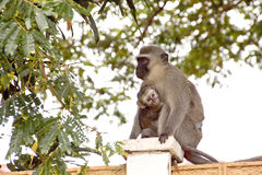 Vervet Monkey And Baby On Concrete Wall Stock Images
