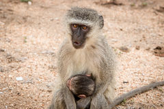 Vervet monkey with baby in the Kruger National Park, South Africa. Royalty Free Stock Images