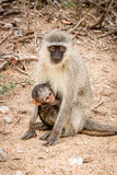 Vervet monkey with a baby in the Kruger National Park, South Africa. Stock Images