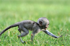 Vervet monkey Royalty Free Stock Images