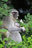 Vervet monkey baby. Sun City area, South Africa royalty free stock photography