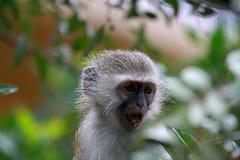 Vervet monkey baby. Sun City area, South Africa stock image