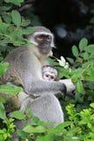 Vervet monkey baby. Sun City area, South Africa stock photography
