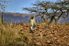 Vervet monkey basking in the Sun stock images