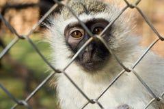 Vervet monkey caged, behind the zoo bars. Vervet monkey captive, behind the zoo bars, look to the camera Stock Image