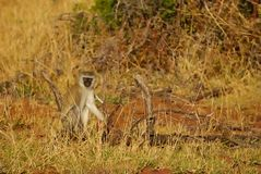 Vervet Monkey (Ceropithecus aethiops) Stock Images