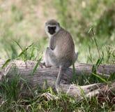 Vervet Monkey, Chlorocebus pygerythrus Stock Image