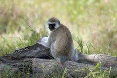 Vervet Monkey, Chlorocebus pygerythrus Royalty Free Stock Photography