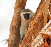 Vervet monkey (Chlorocebus pygerythrus) Royalty Free Stock Photos
