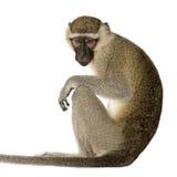 Vervet Monkey - Chlorocebus Pygerythrus Royalty Free Stock Photography