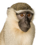 Vervet Monkey - Chlorocebus pygerythrus Royalty Free Stock Images