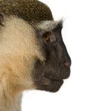 Vervet Monkey - Chlorocebus pygerythrus Royalty Free Stock Photo