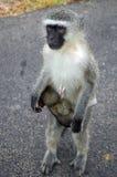 Vervet monkey (Chlorocebus pygerythrus) Royalty Free Stock Images