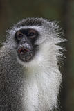 Vervet monkey (Chlorocebus pygerythrus) Royalty Free Stock Images