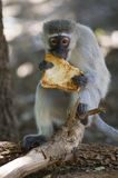 Vervet monkey( Chlorocebus pygerythrus) eating a piece of toast Royalty Free Stock Photography