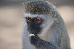 Vervet monkey( Chlorocebus pygerythrus) eating a piece of toast Royalty Free Stock Photo