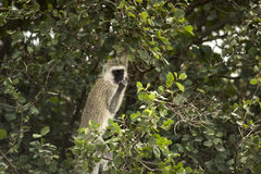 Vervet monkey,  Chlorocebus pygerythrus, eating, Serengeti Royalty Free Stock Photos