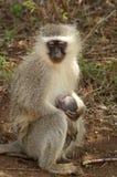 Vervet monkey (Chlorocebus pygerythrus) Royalty Free Stock Photo