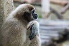 Vervet monkey (Chlorocebus pygerythrus) female Stock Photo