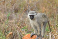 Vervet monkey (Chlorocebus pygerythrus) Stock Images
