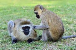 Vervet monkey Stock Image