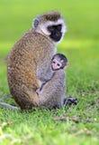 Vervet monkey Stock Photography